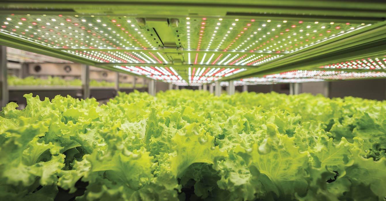 用AEtrium SmartFarm种植的生菜