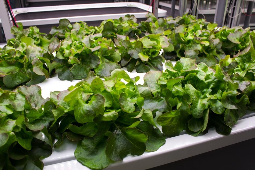 AEssenseGrows Fresh AEtrium-2 Lettuce Variety