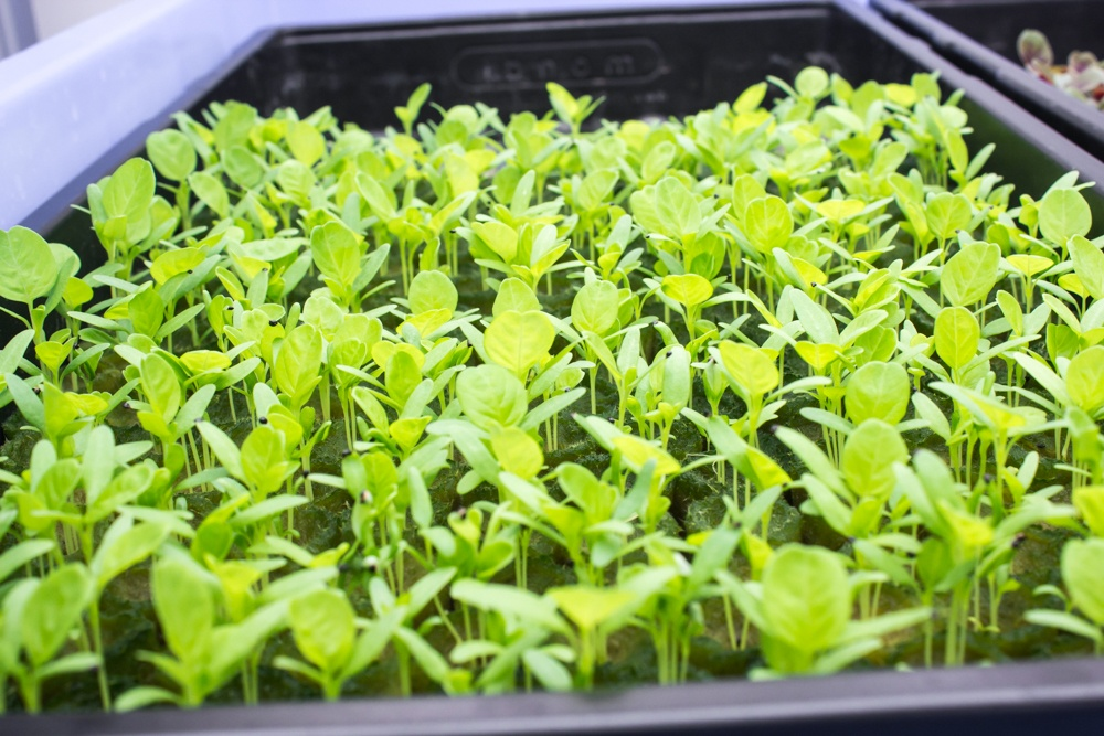 AEssenseGrows Fresh AEtrium-2 Sprouts