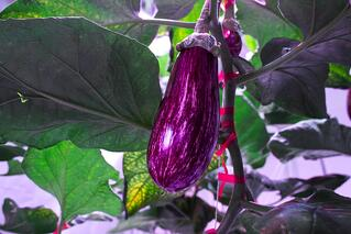 AEssenseGrows Fresh AEtrium-4 Eggplant