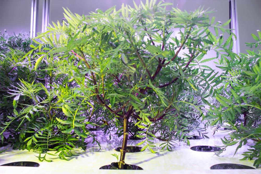 AessenseGrows Fresh AEtrium-4 Vegetable Growth