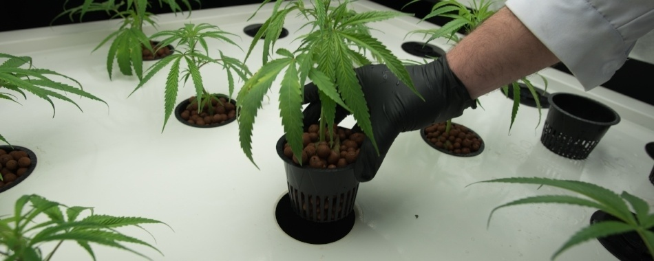 Placing Vegging Growth Pots