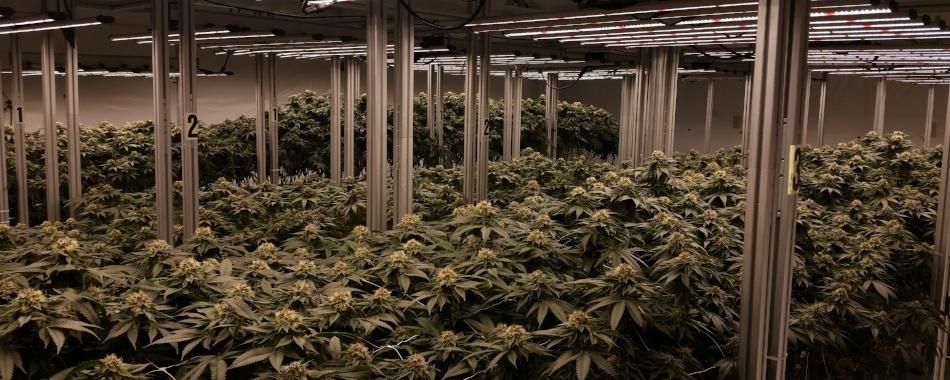 Buds Growing
