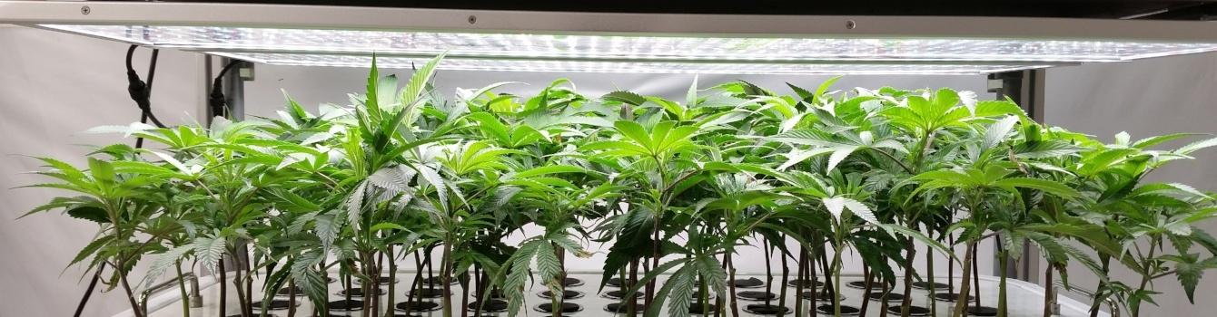 AEtrium-2 Automated Cultivation Clones