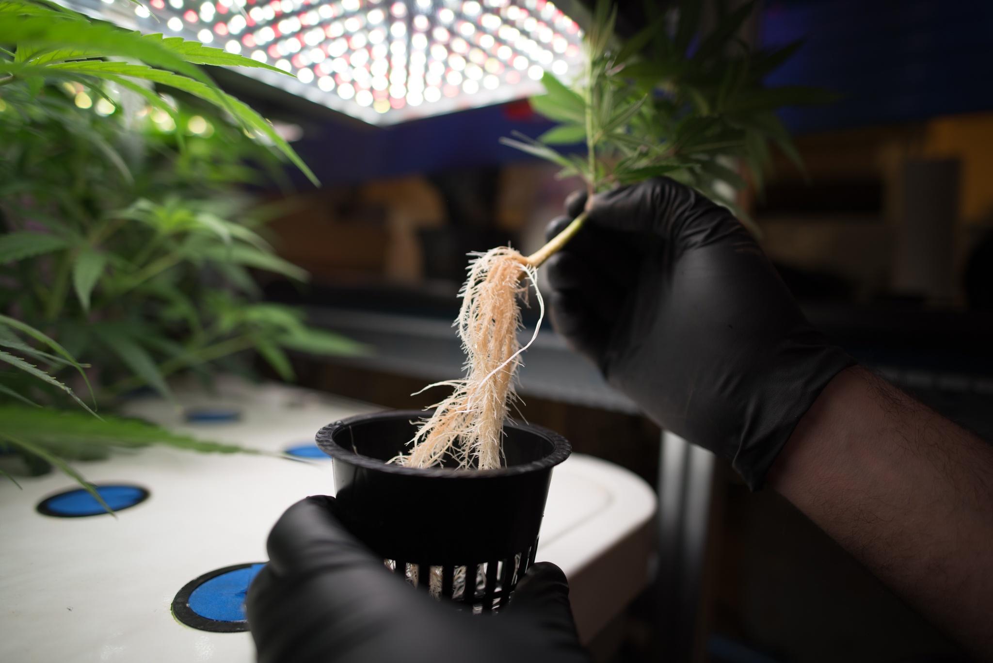 Cloning Transfer to Bloom Net Pot