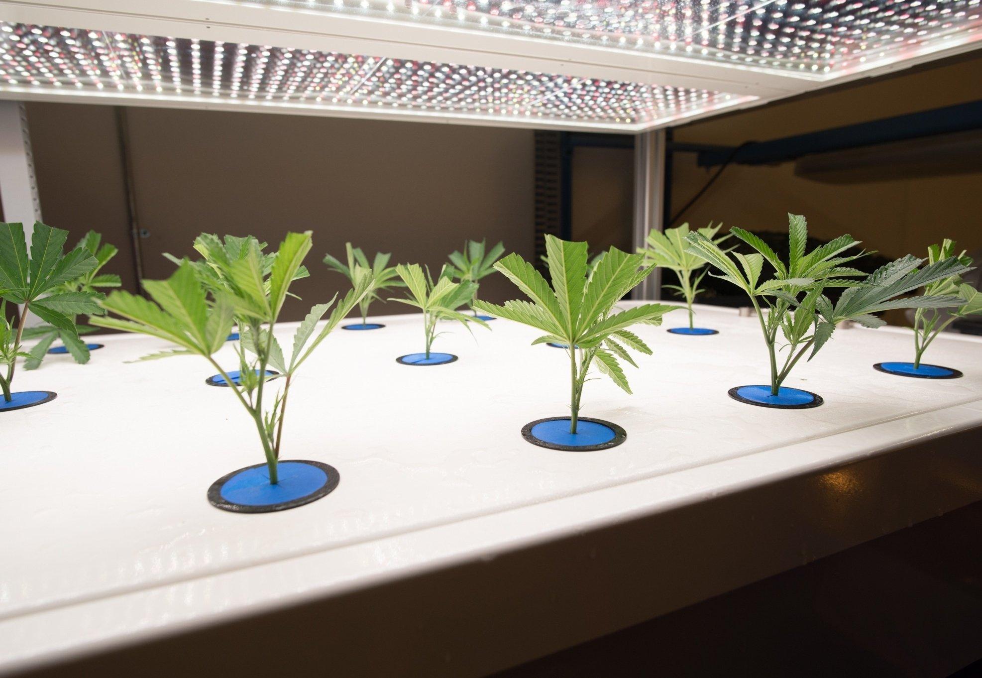 AEtrium-2 Placing Cannabis Clones