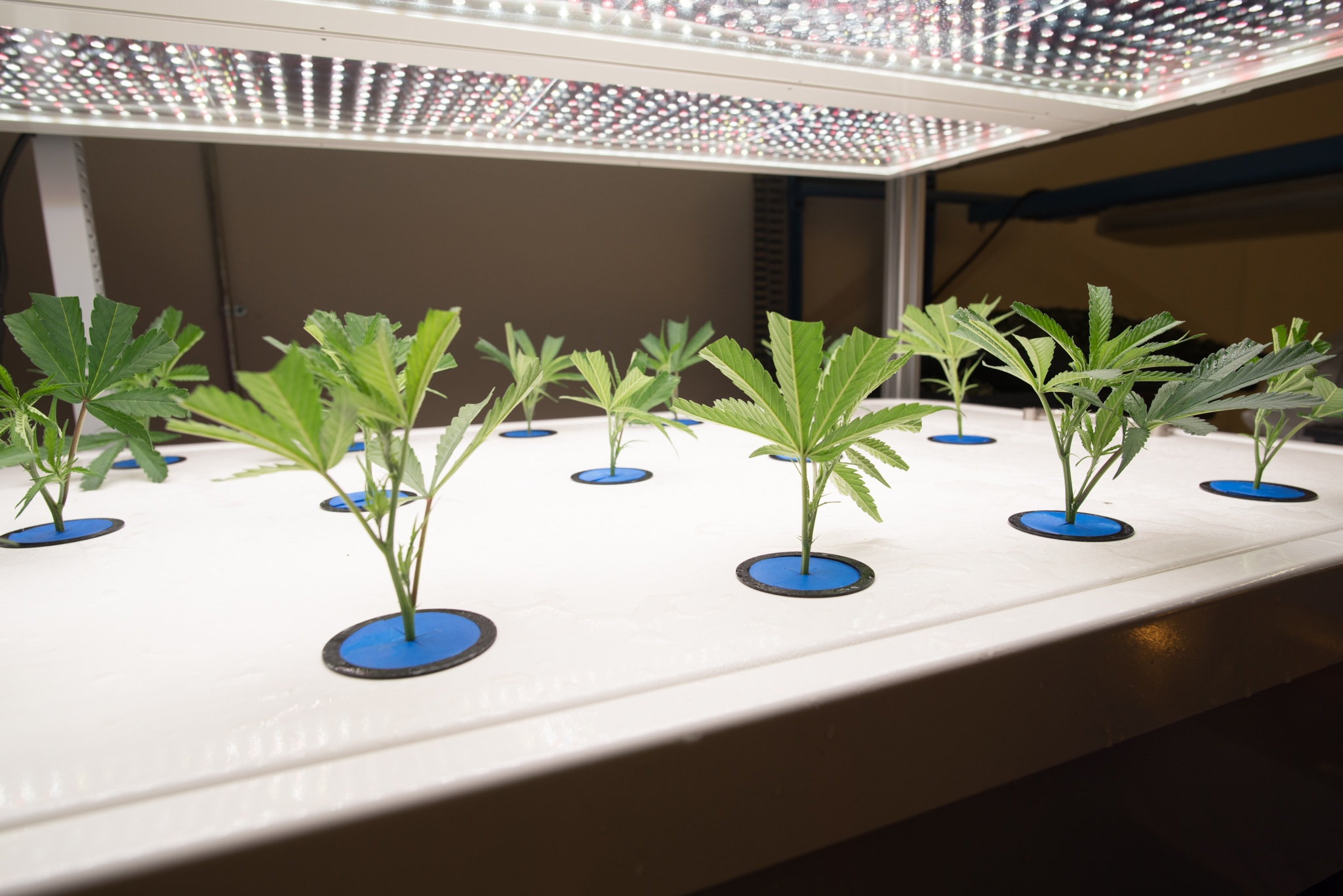 AessenseGrows Cultivation AEtrium-2 Placing Clones