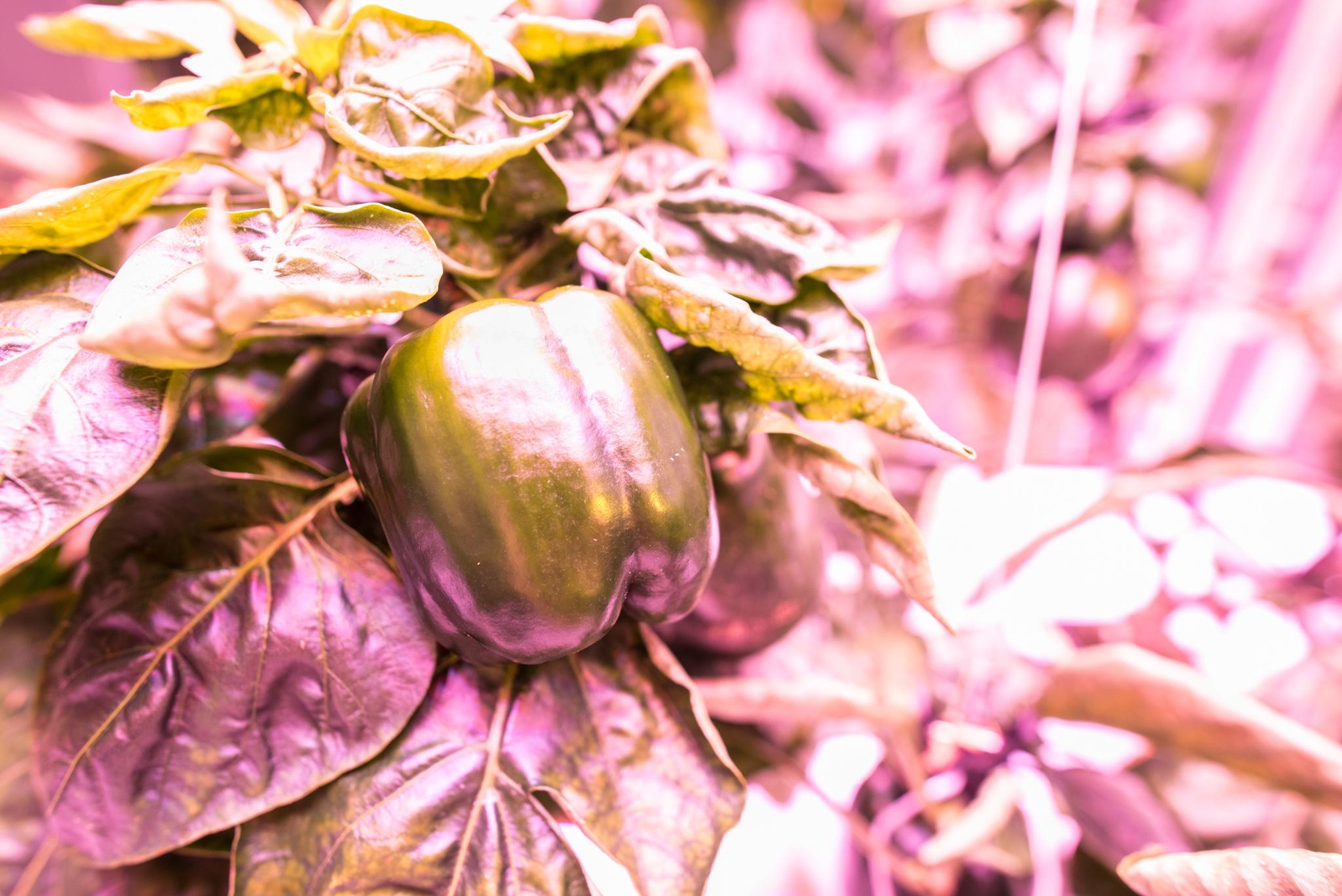 Fresh Produce Bell Pepper