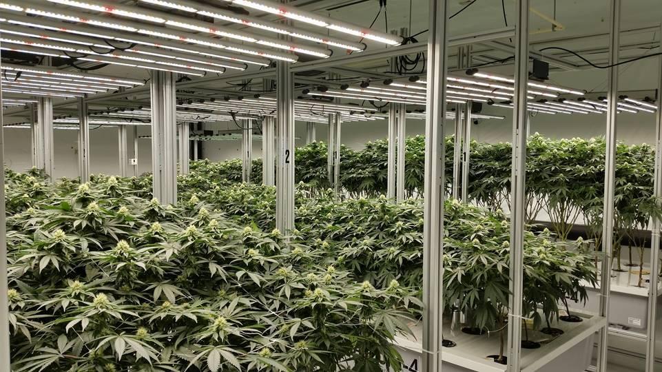 AessenseGrows Cultivation AEtrium-4 Bloom Growth