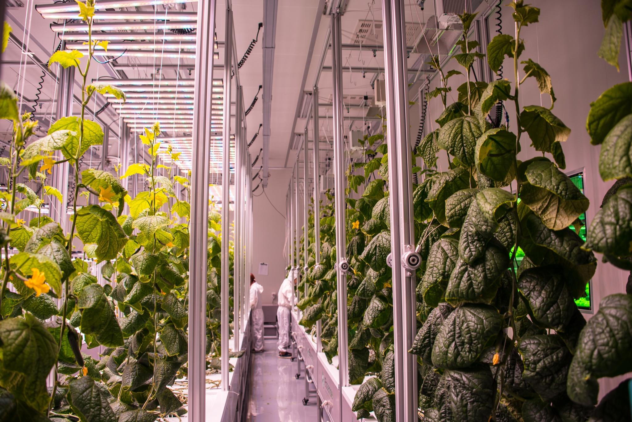 AEtrium-4 Clean Room Production Cucumbers