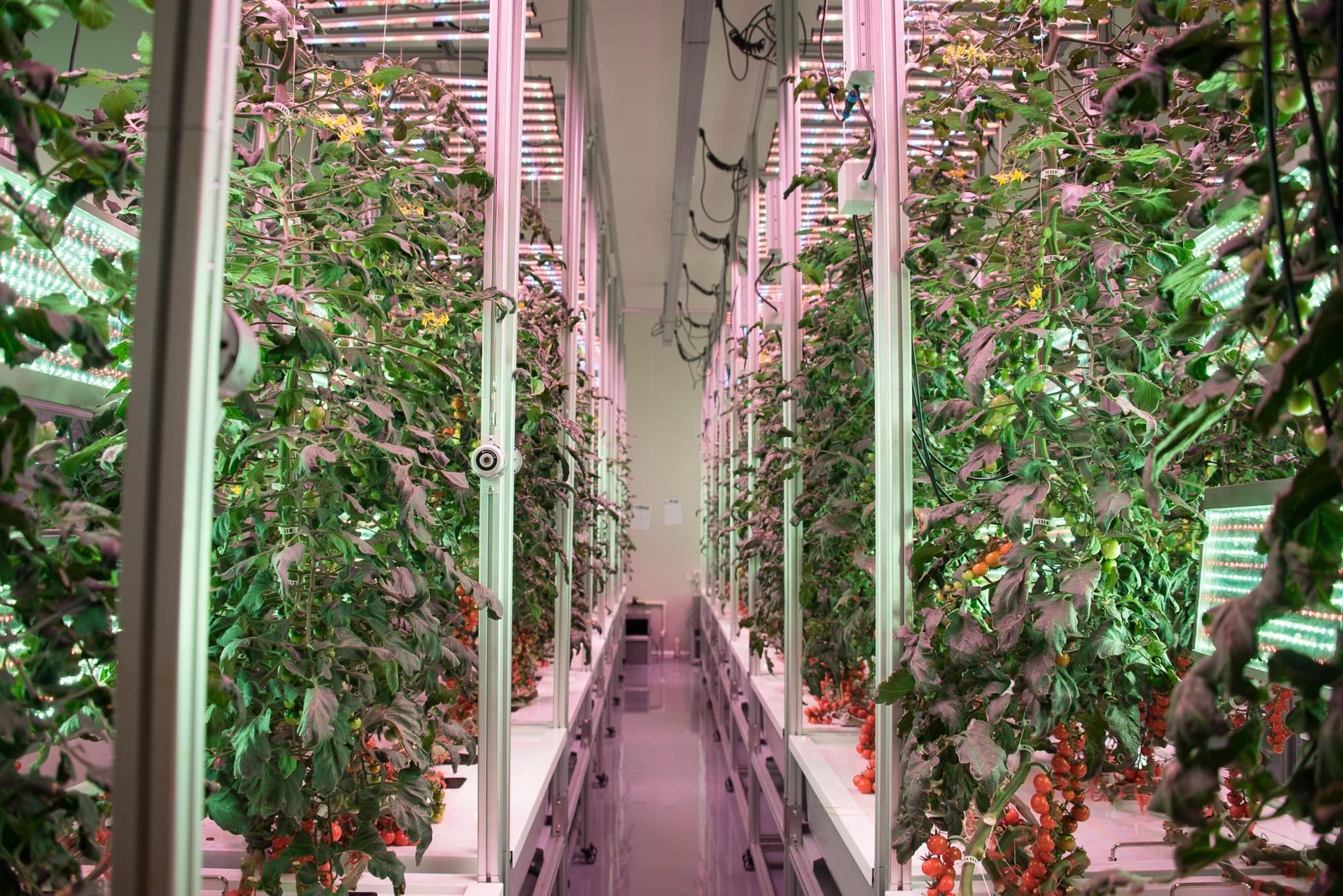 AessenseGrows Fresh AEtrium-4 Tomato Growth