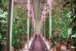 AessenseGrows Fresh AEtrium-4 Tomato Growth