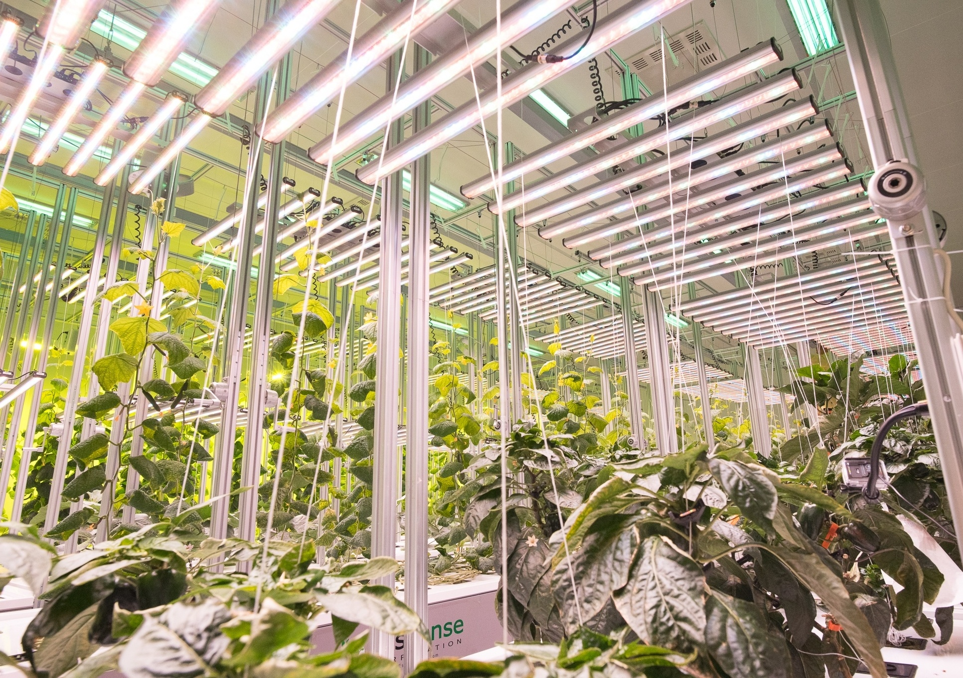Commercial cultivation with efficient LED grow lights