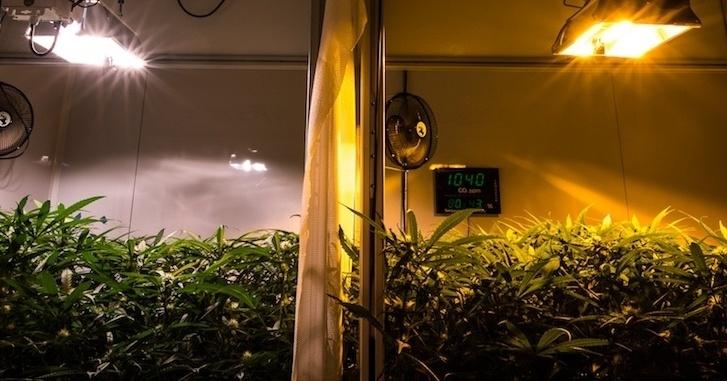 Abundant yield under CMH and HPS grow lights