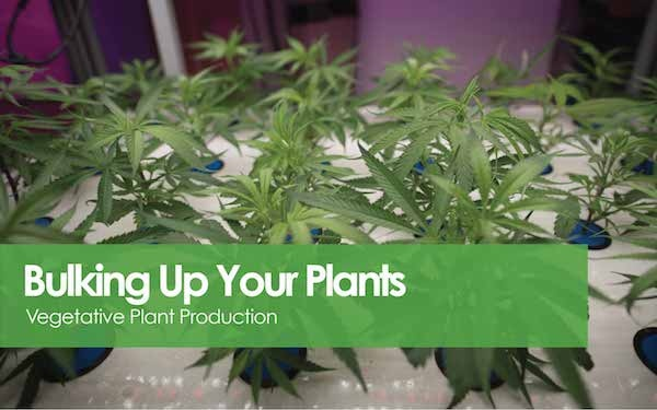 Vegetative Plant Production - Bulking Up Your Plants