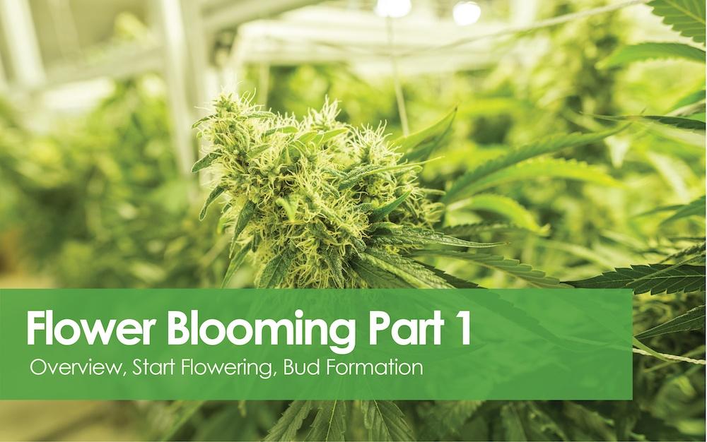 Flowering Blooming - Bud Formation